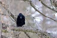 Raven on the tree