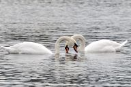 Beautiful swans in a London park