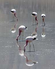 Pink flamingo in the Atacama