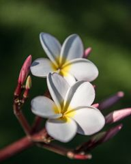 Plumeria - the national flower of Laos