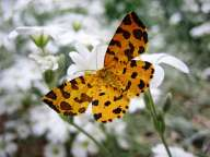 Yellow butterfly perched on white flowers
