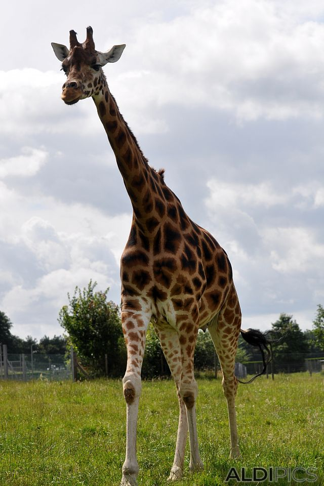Giraffes in Woburn Safari Park