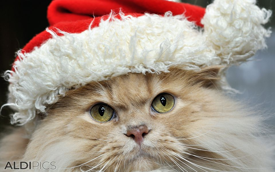 Alexander Puss in Christmas dress