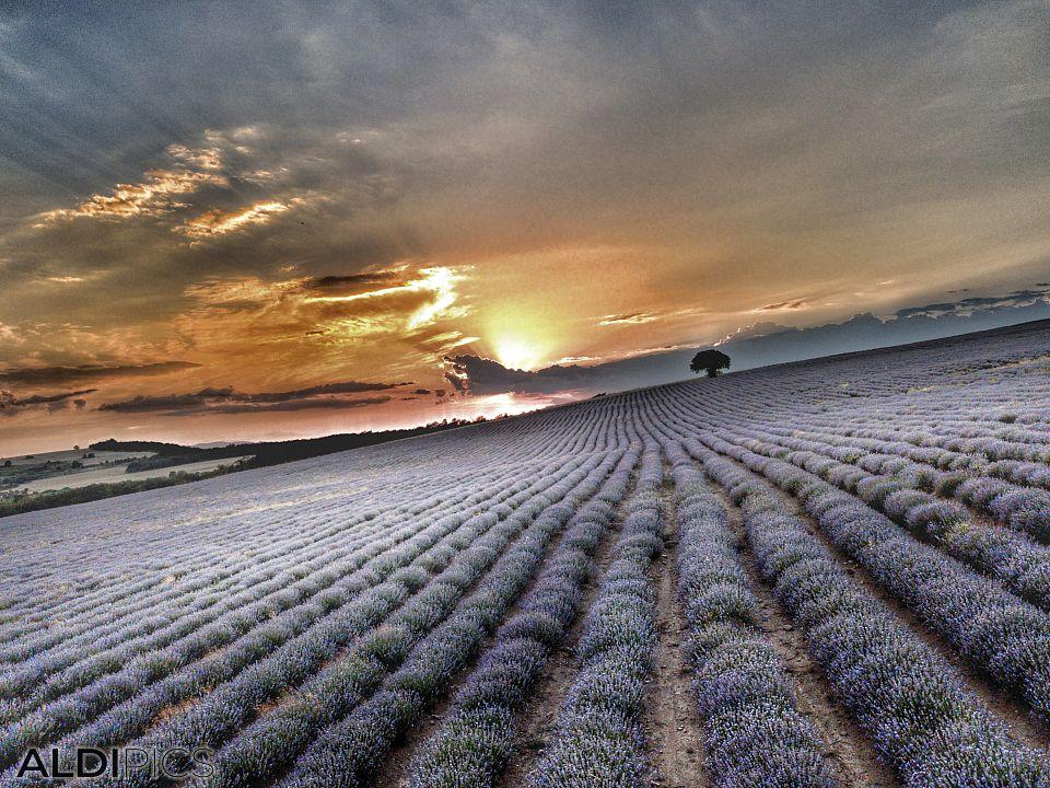 Лавандулово поле