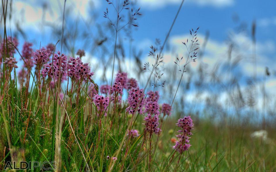 Поляни с цветя от Белмекен - Зъбчето