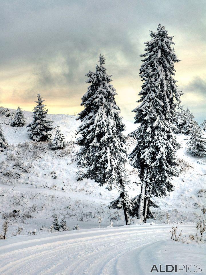 Pine near Belmeken