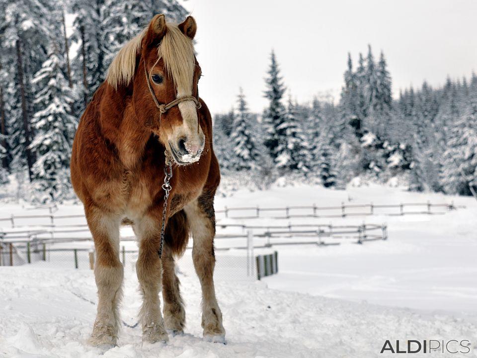 Коне на снежна Старина край Юндола