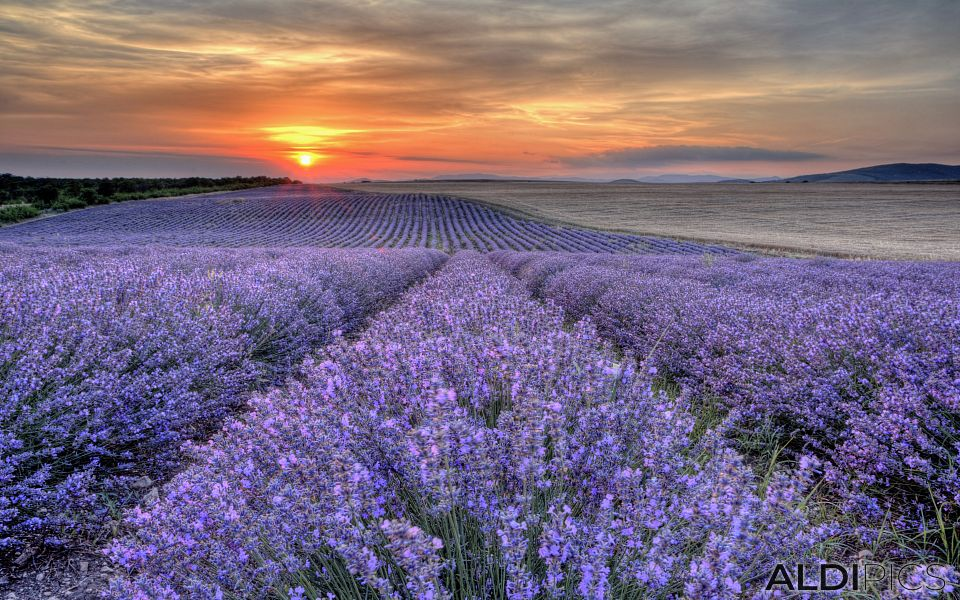 Fields of lavender near Chirpan