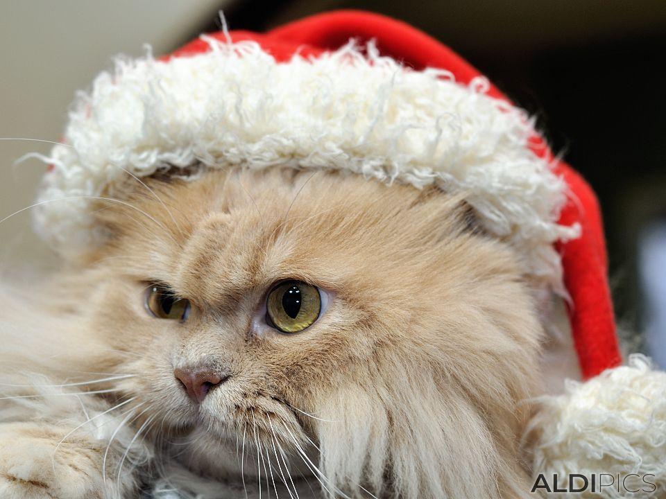 Alexander Puss in Christmas dress