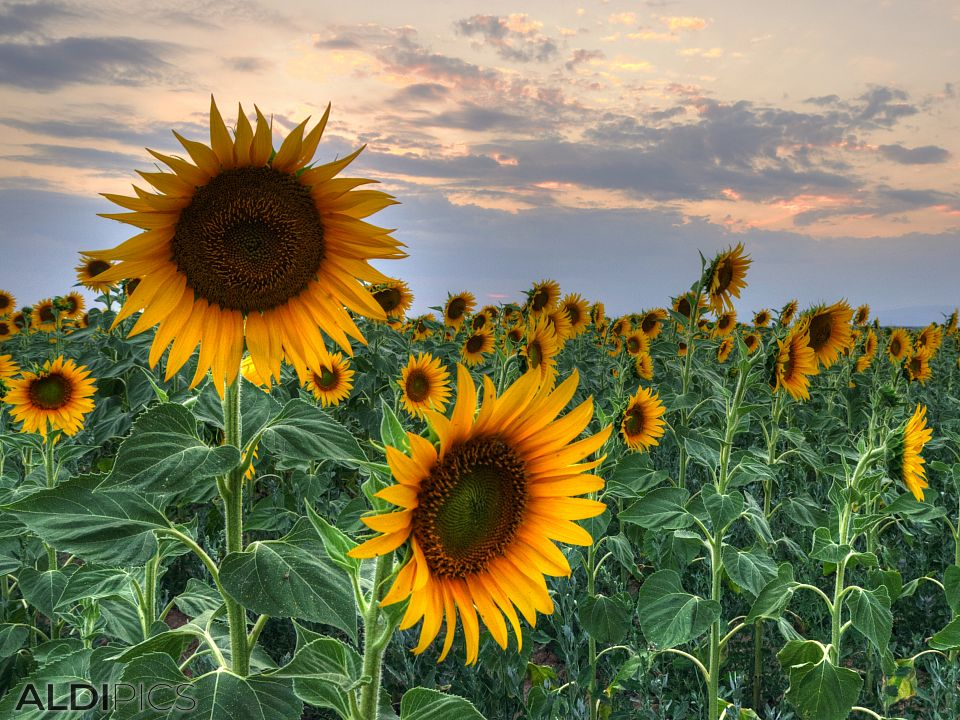 Sunflowers near Plovdiv