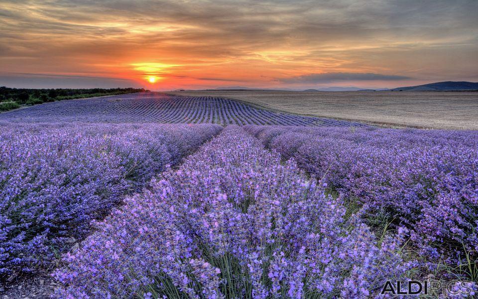 Fields of lavender near Chirpan