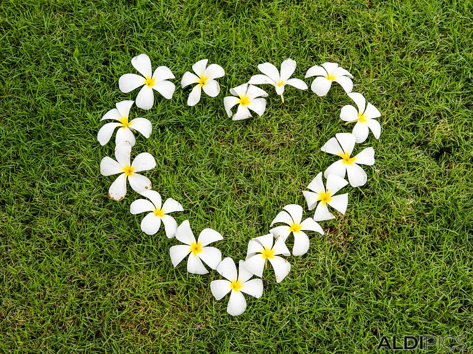 Heart from frangipani