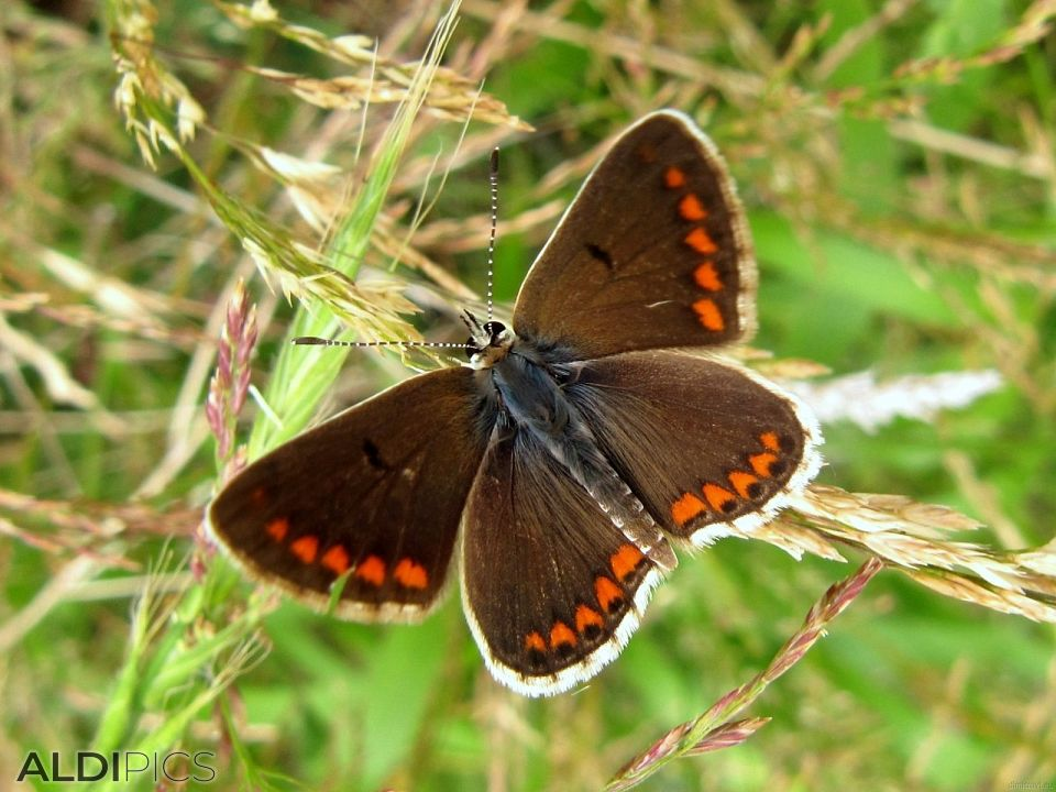 Brown butterfly with orange spots