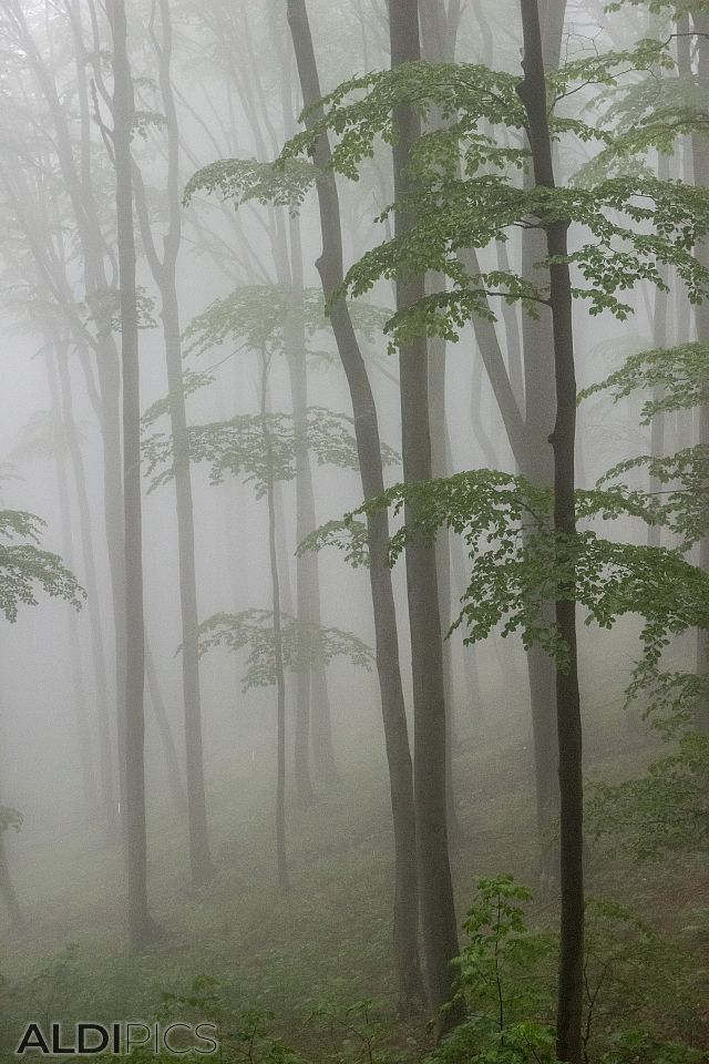 The misty forest