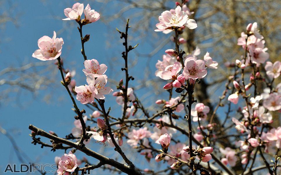 Spring blossom in Madrid