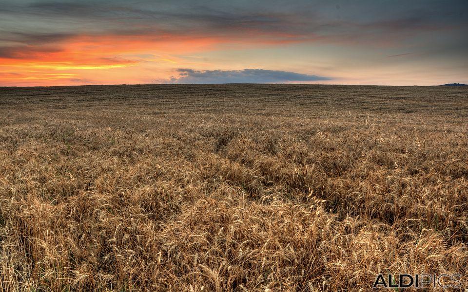 Wheat at sunset near Chirpan