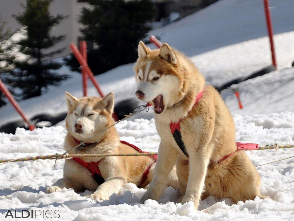 Husky in dog harness