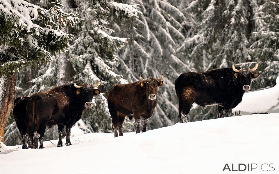 Buffaloes in Starina near Yondola