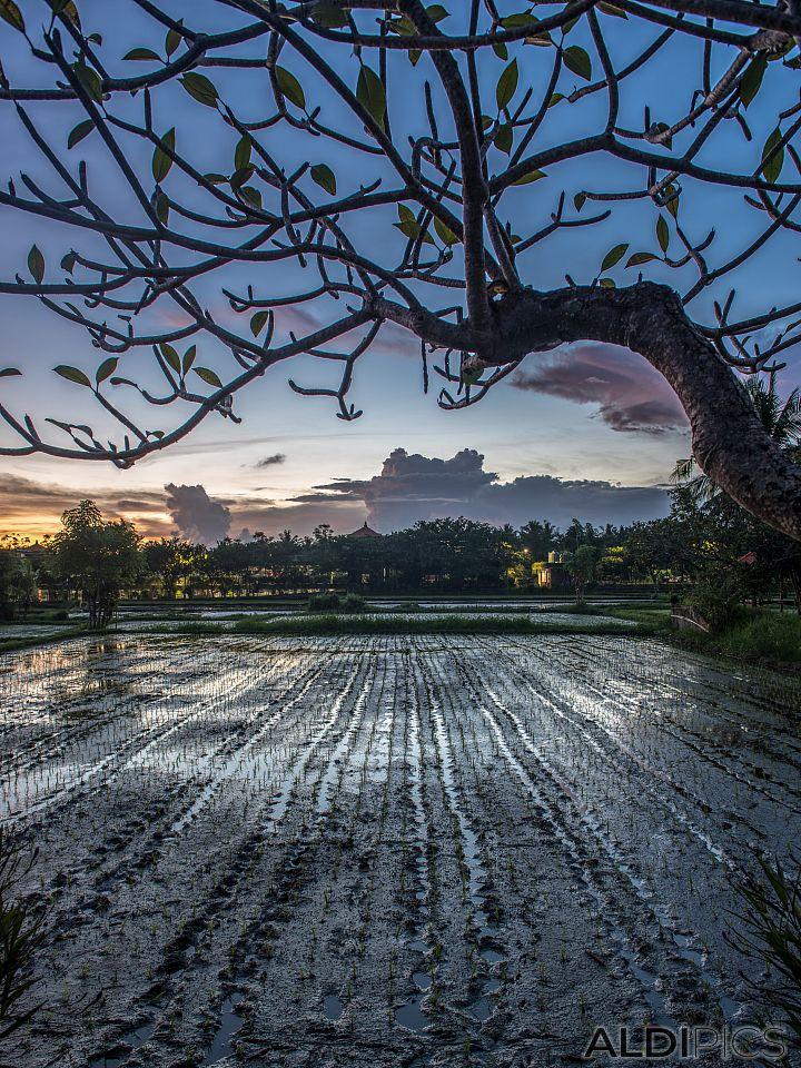 The rice sunset of Ubud
